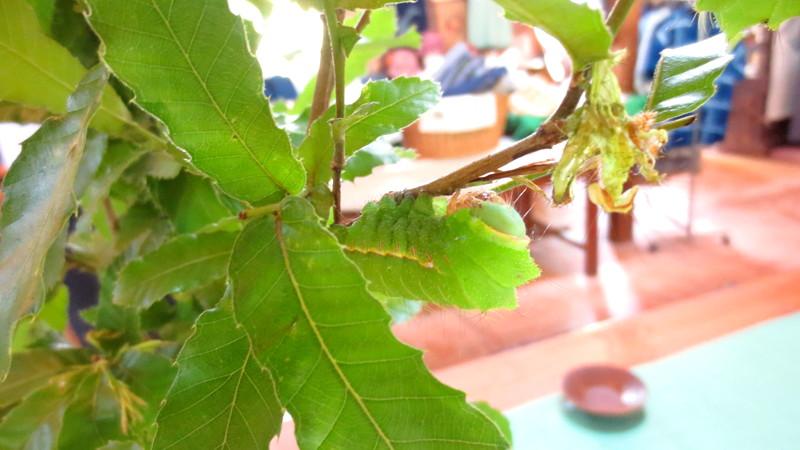 緑色の天蚕