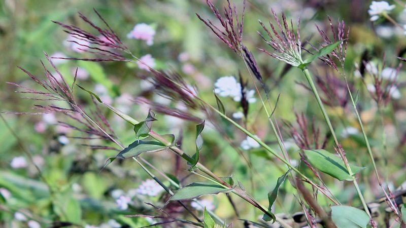 群生するコブナ草