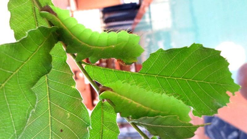 鮮やかな緑のイモムシ